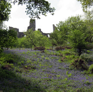 Dinefwr Castle with Bluebells